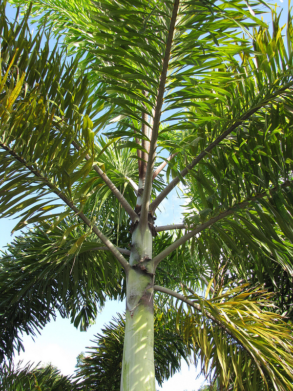 Fox Tail Palm Florida