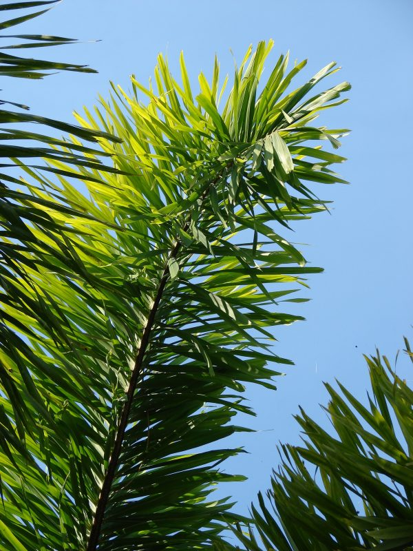 Fox Tree Palm